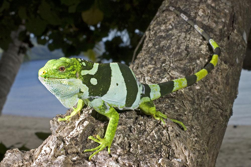 Hábitat - Iguana crestada de fiji iguanas verdes (Green)2
