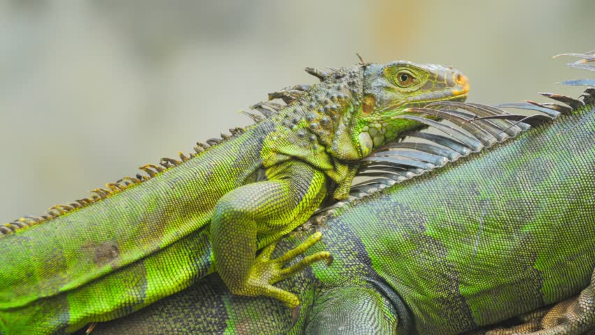 ¿Saber como distinguir el sexo y la edad de una iguana?