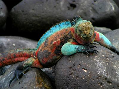 Las Iguanas Marinas Godzilla Amblyrhynchus