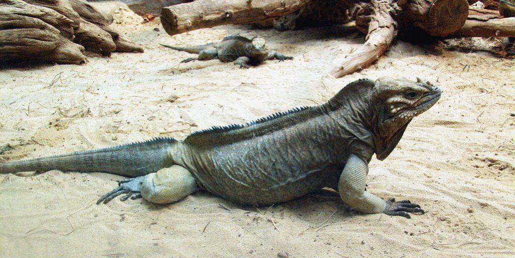 ¿Cuales son las características de la iguana?