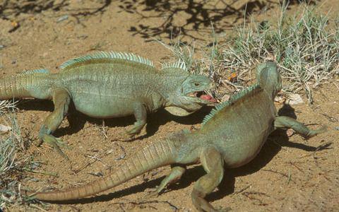 ¿Para las iguanas cual es el comportamiento en celo y apareamiento?