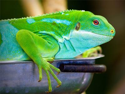 Iguana crestada de Fiji o Iguanas Brachylopus