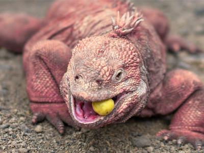 Iguana Terrestre o Iguanas Conolopus exótica y bonita