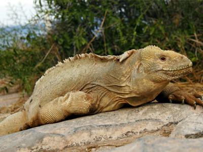 Iguana terrestre de las galápagos Conolophus exótico y bonito