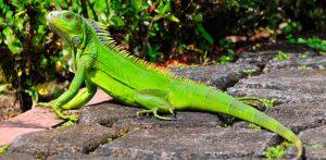 Hábitat - Iguana verde ¿Donde vive una iguana?