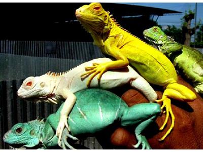 Iguanas de colores amarilla, verde, blanca, azul
