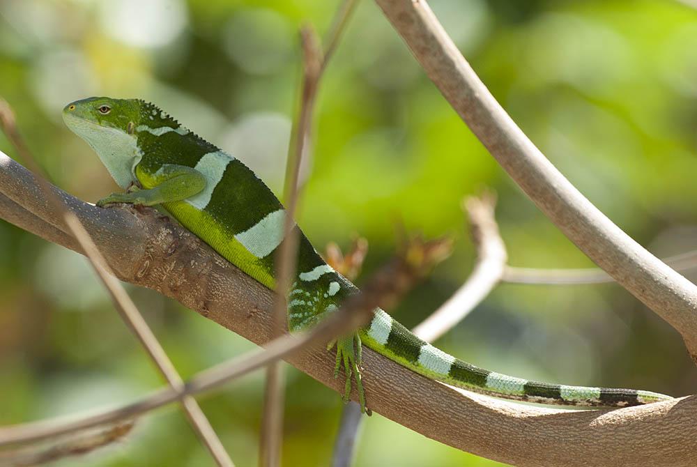 ¿De donde es su origen y en donde viven las iguanas cresta de Fiji?