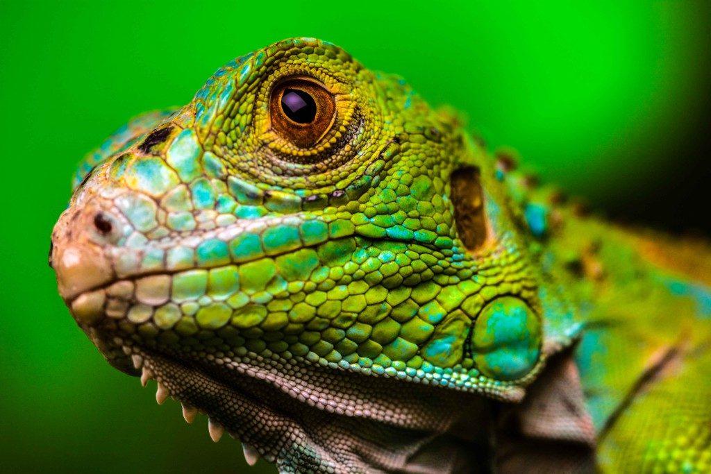 ¿De donde proceden y donde viven las iguanas?