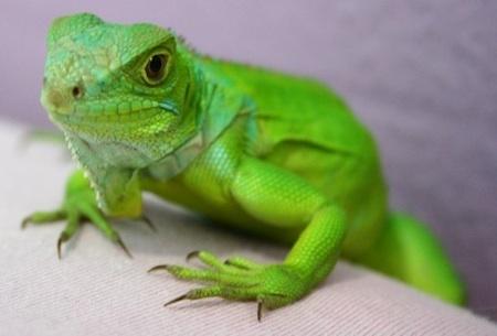 ¿Como puedo hacer para que se reproduzcan unas iguanas?