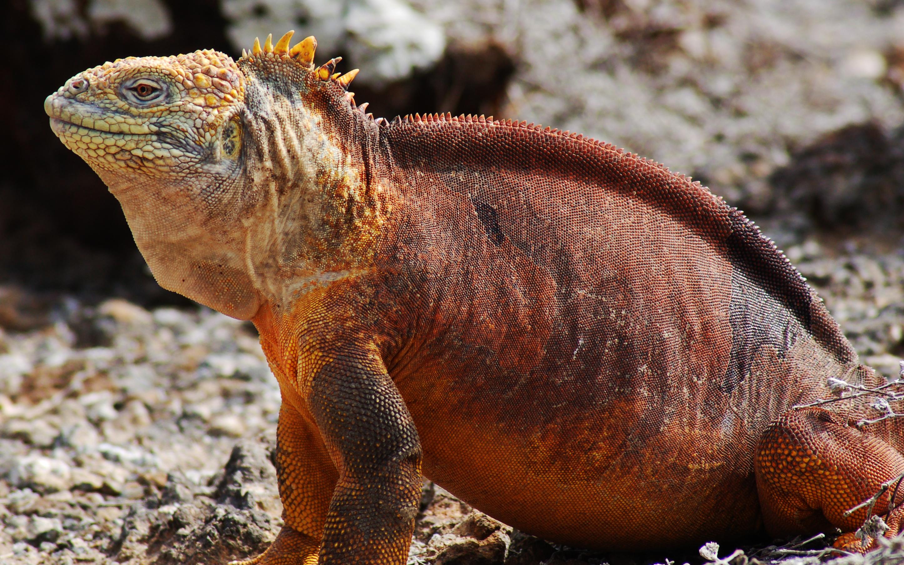 Iguana Conolophus terrestre de las galápagos bonitos y exóticos