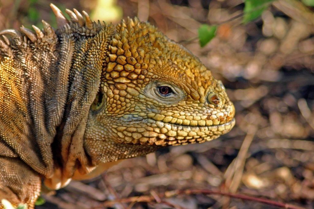 Hábitat - iguana terrestre de Galápagos