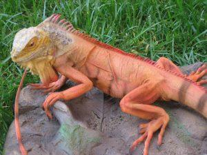 Iguana Naranja de Tierra exótica y bonita