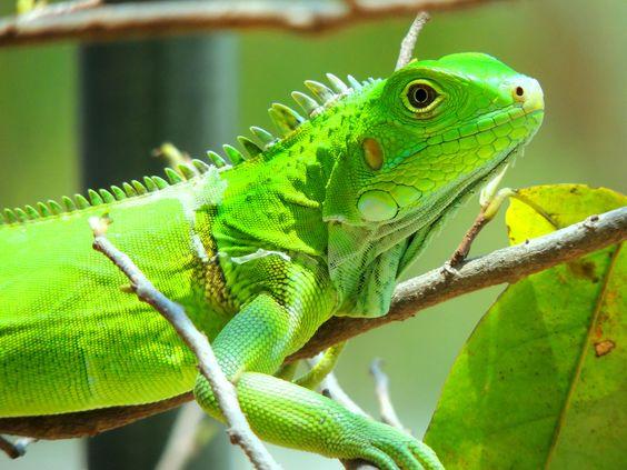 iguana verde - necesita mucho calor