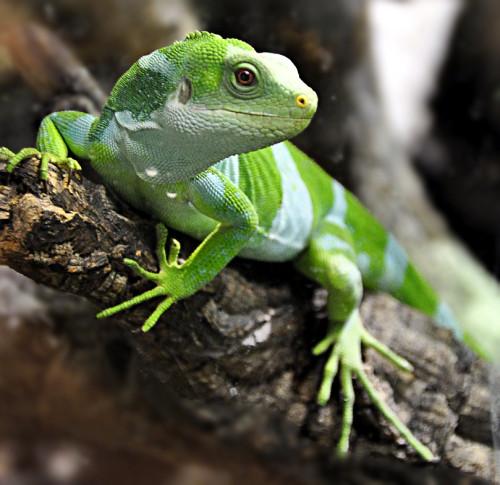 Iguana crestada de Fiji ¿Cuando comen las iguanas? exóticas y bonitas