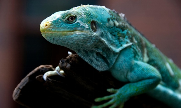 Iguana crestada de Fiji Brachylophus exótica