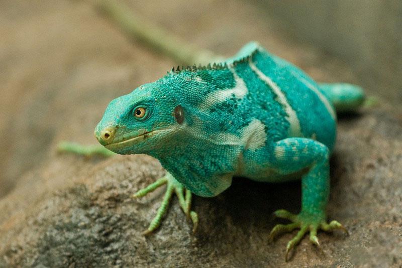 ¿Cuanto es el tiempo que pueden vivir las iguanas Brachylophus?