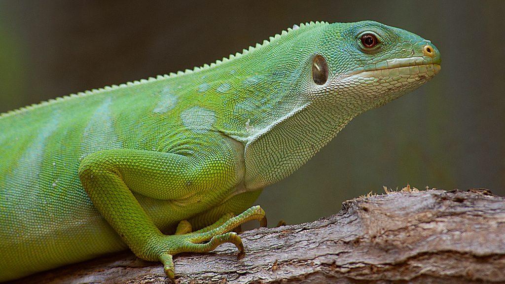 ¿Como suelen comportarse las iguanas en un terrario?