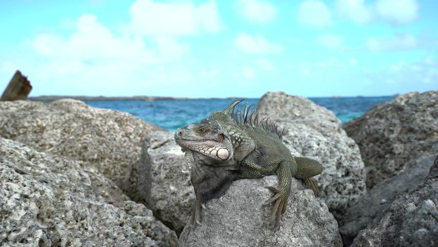 ¿Donde viven las iguanas de roca (Cyclura)?