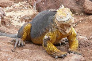 Características y rasgos la iguana terrestre de las islas Galápagos bonitos y exóticos
