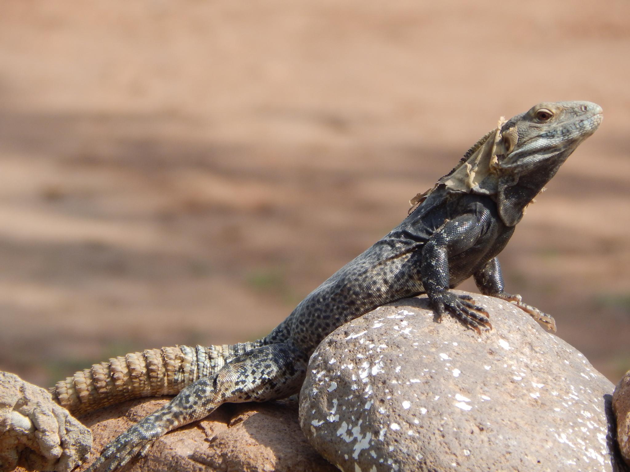 Las iguanas mas bellas y exóticas tipos y características en paralasiguanas.top