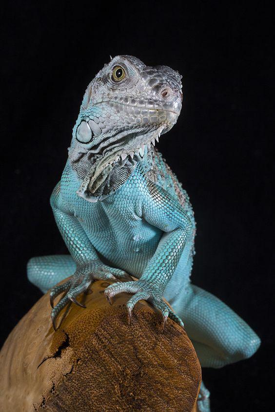 ¿Que es lo que sabemos sobre las iguanas de roca?
