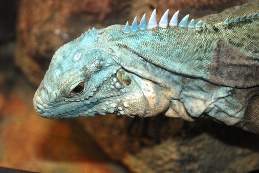 ¿Como es el comportamiento de una iguana en cautiverio o como mascota de compañía?