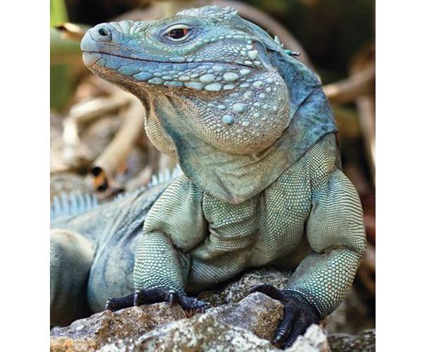 Hábitat - Iguana de las rocas Cyclura