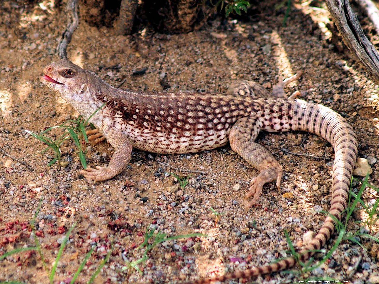 Las iguanas mas bonitas y exóticas tipos y características cuidados en paralasiguanas.top