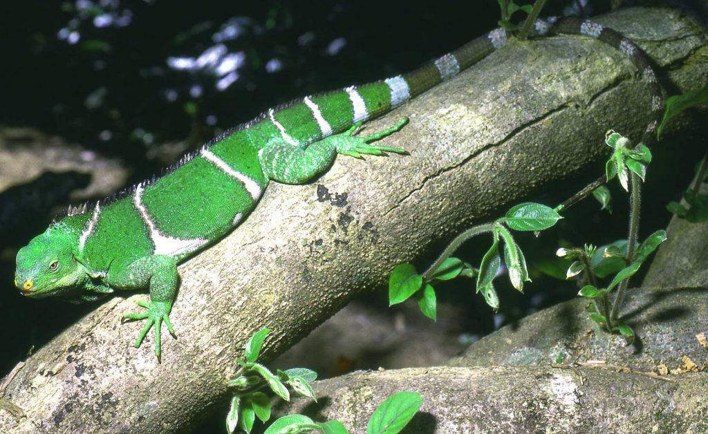 ¿Que es una iguana crestada de Fiji?
