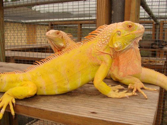 Iguanas Amarillas o Albina reptil exótico y bonito