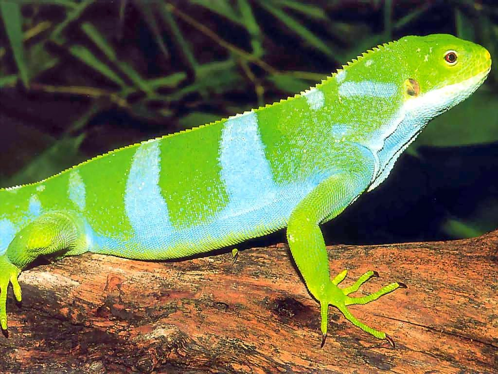 Iguana crestada de fiji iguanas verdes (Green)