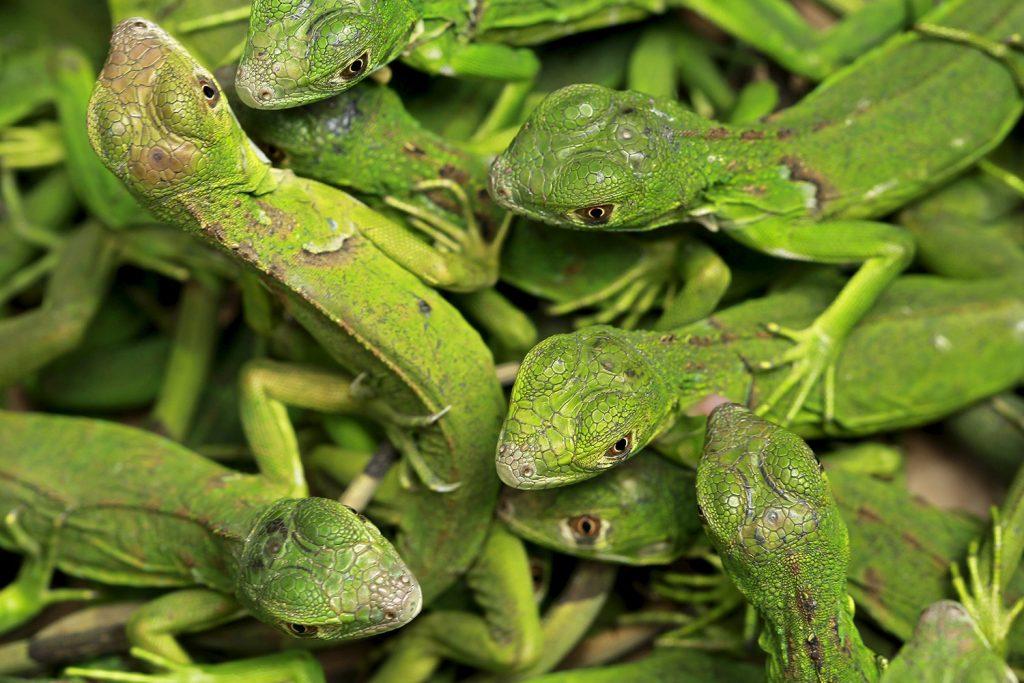 ¿Puedo reproducir iguanas en casa, en un terrario?