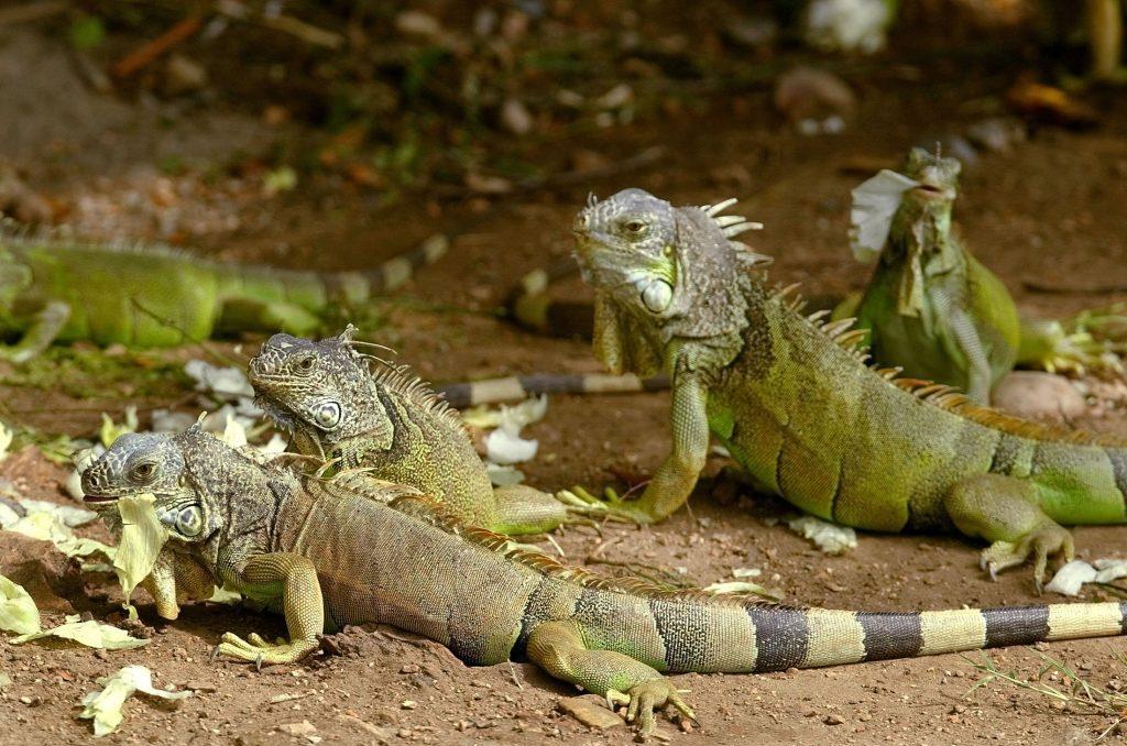 ¿Cual es el comportamiento para las iguanas en la época de celo y apareamiento?