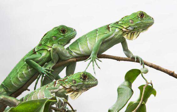 ¿Ya tengo mi iguana como mascota y con permisos? ¿Ahora que tengo que hacer?