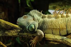 ¿Las iguanas necesitan una lámpara de calor por la noche?
