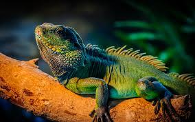 ¿Quiero tener una iguana como mascota? ¿Pero es legal?