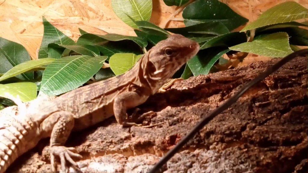 """Â¿Como es una iguana """"Ctenosaura""""?"""