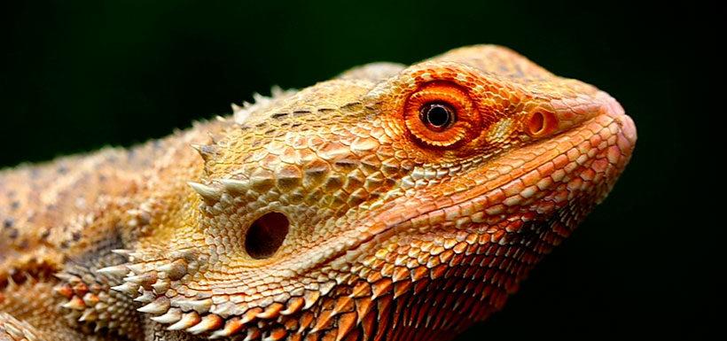 Todo lo que tenemos que saber antes de comprar una iguana