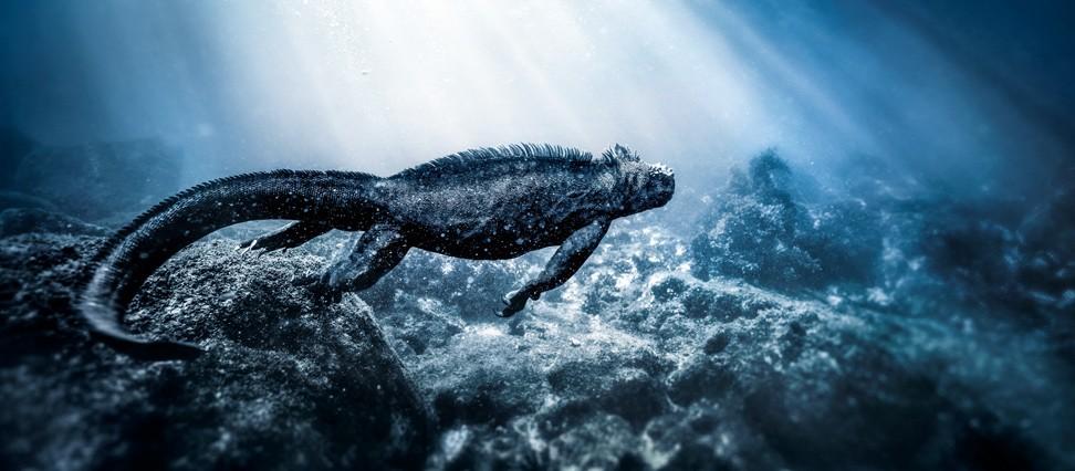 Iguana Marina rocosa