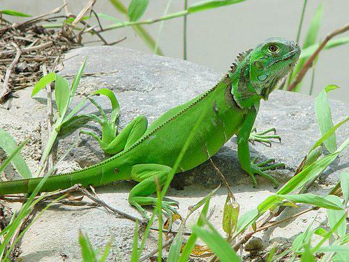 Iguana verde ¿Que comen las iguanas? reptil bonito y exótico