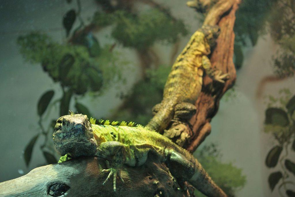 Â¿Cuanto tiempo viven estas bonitas iguanas?