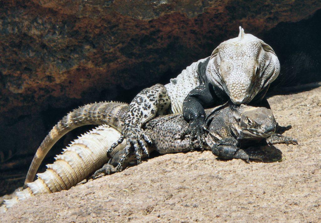 Características principales y rasgos comunes de las iguanas