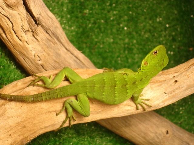 ¿Como se aparean las iguanas en la época de celo?