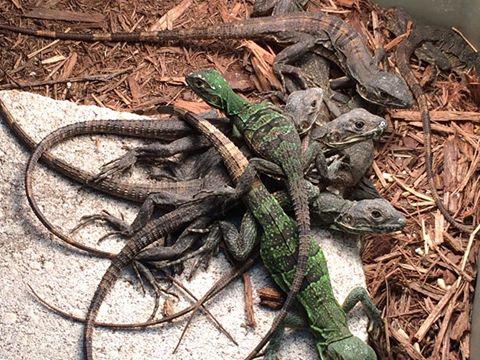 Â¿Como saber la edad de una iguana?
