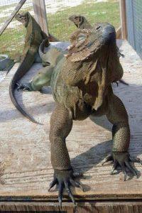 Sauromalus iguana de tierra hermosa y exótica tipos y características en paralasiguanas.top