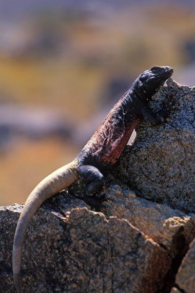 Iguana de tierra o Sauromalus bellas y exóticas tipos y características en paralasiguanas.top