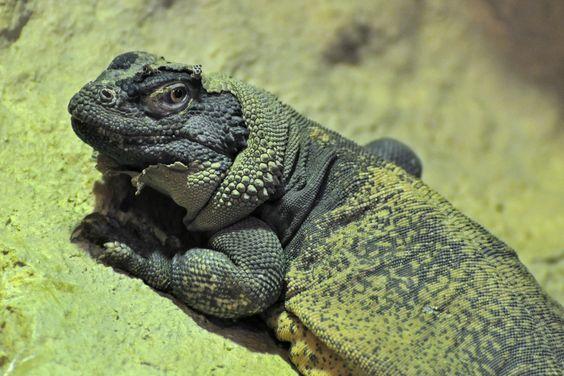 Iguanas de tierra sauromalus mascota bella y exótica tipos y características en paralasiguanas.top