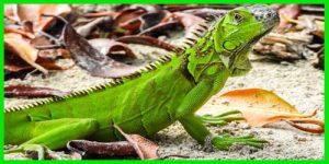 """Iguana Verde """"Iguana Iguana"""""""