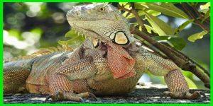 "Iguana Verde ""Iguana Iguana"" roja"