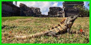 "Iguana espinosa del Golfo ""Ctenosaura Acanthura"" animal exótico reptil info tienda online paralasiguanas.top"